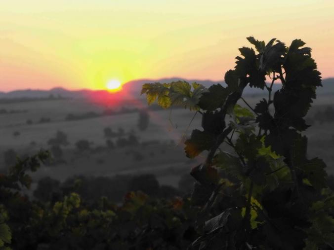 grapes in South Sakar wine region