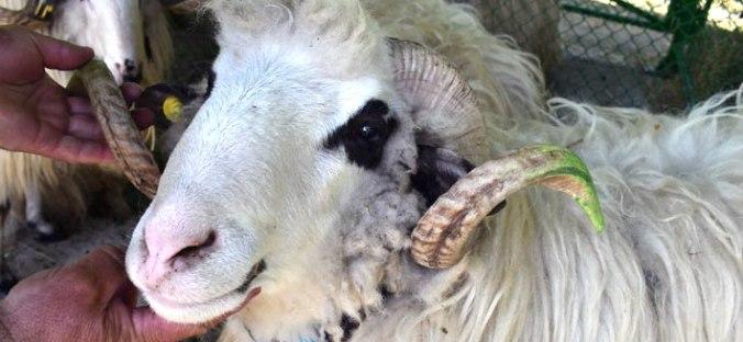Sakar sheep